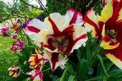 Tulipa Arkivbilder