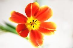 Tulipa aberta Imagens de Stock Royalty Free