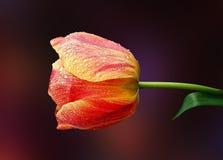 Tulipa agradável da mola Fotografia de Stock Royalty Free