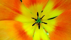 Tulipa alaranjada Foto de Stock Royalty Free