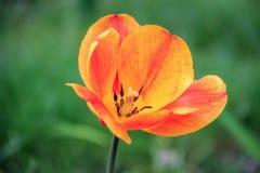 Tulipa alaranjada brilhante Imagem de Stock Royalty Free