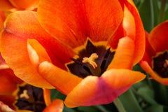 Tulipa alaranjada e preta, fim acima da vista superior Imagens de Stock