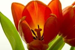 A tulipa alaranjada e vermelha floresce o close up Fotografia de Stock