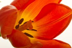 A tulipa alaranjada e vermelha floresce o close up Foto de Stock Royalty Free