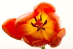 A tulipa alaranjada e vermelha floresce o close up Foto de Stock