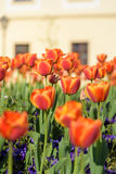 Tulipa alaranjada no jardim Fotografia de Stock Royalty Free