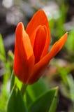 Tulipa alaranjada vermelha bonita Imagem de Stock Royalty Free