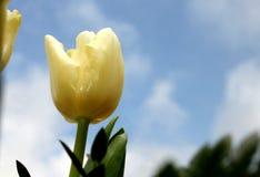Tulipa amarela Imagens de Stock Royalty Free