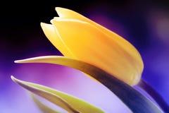 Tulipa amarela Foto de Stock Royalty Free