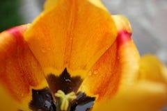 Tulipa amarela imagem de stock
