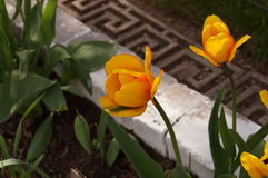 Tulipa amarela Fotografia de Stock Royalty Free