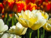 Tulipa amarela fotos de stock
