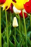 Tulipa amarela Imagens de Stock