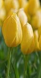 Tulipa amarela alta Imagem de Stock Royalty Free