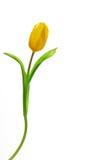 Tulipa amarela brilhante em um fundo branco Imagens de Stock Royalty Free