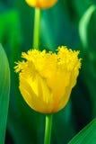 Tulipa amarela da mola Fotografia de Stock Royalty Free