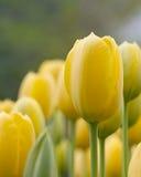 Tulipa amarela de florescência da manteiga Fotografia de Stock