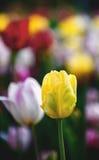 Tulipa amarela em um fundo borrado de tulipas coloridas imagem de stock
