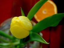 Tulipa amarela em um vaso de vidro Fotos de Stock Royalty Free