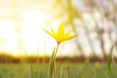 A tulipa amarela em uma grama no sol irradia-se Fotografia de Stock