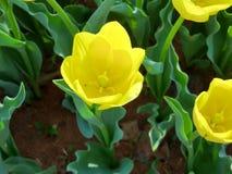 Tulipa amarela ensolarada do purissima Imagens de Stock Royalty Free