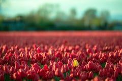 Tulipa amarela entre tulipas vermelhas Imagens de Stock Royalty Free