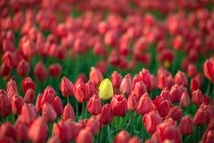 Tulipa amarela entre tulipas vermelhas Fotografia de Stock Royalty Free