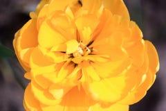 Tulipa amarela grande Fotografia de Stock Royalty Free