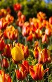 Tulipa amarela no campo de tulipas vermelho-amarelas dentro Newcastle-em cima de-tyn Imagem de Stock Royalty Free