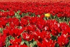 Tulipa amarela no campo vermelho da tulipa Fotografia de Stock Royalty Free