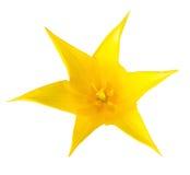 a tulipa amarela principal é isolada no fundo branco Fotografia de Stock
