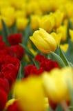 Tulipa amarelo Fotografia de Stock