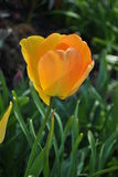 tulipa Amarelo-alaranjada Fotografia de Stock