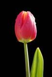 Tulipa Apeldoorn Elite Stock Image