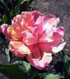 A tulipa atrasada do dobro chamou Angelique Fotos de Stock