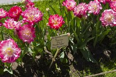 Tulipa av den dubbla sockerarten royaltyfri foto