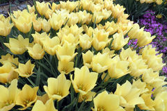 Tulipa batalini Royalty Free Stock Images