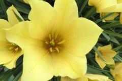 Tulipa batalini Royalty Free Stock Photo