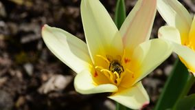 Tulipa batalinii & honeybee stock video