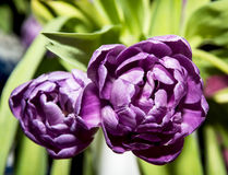 Tulipa Blue Diamond Stock Photography