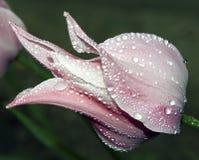 Tulipa bonita Foto de Stock