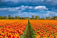 A tulipa bonita coloca em Lisse nos Países Baixos fotos de stock royalty free
