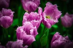 A tulipa bonita coloca em Lisse nos Países Baixos imagem de stock royalty free
