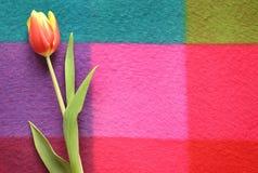 Tulipa bonita da mola em um fundo colorido Foto de Stock