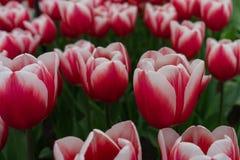 A tulipa bonita do colofrul jardina em Keukenhof em um dia chuvoso foto de stock