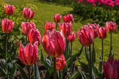 Tulipa Botões vermelhos bonitos de um close-up da tulipa Começo das flores apenas à flor Fotos de Stock