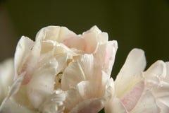 Tulipa branca com Fotografia de Stock