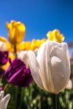 Tulipa branca com as flores roxas e alaranjadas Imagem de Stock Royalty Free