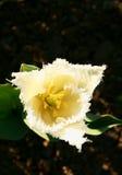 Tulipa branca franjada agradável Imagens de Stock Royalty Free
