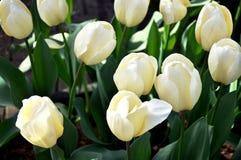 Tulipa, branco, flor, mola, verão, jardim, curso, Amsterdão imagem de stock